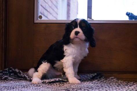 Cavalier King Charles Spaniel Puppy For Sale In Kent Oh Adn