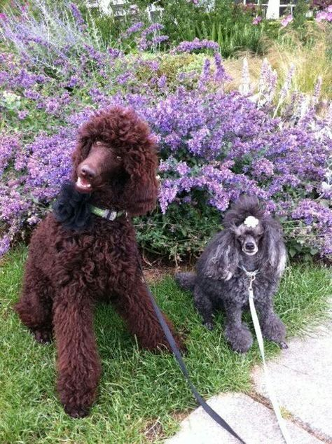 City Of Vancouver Bc Standard Poodles Are Fabulous