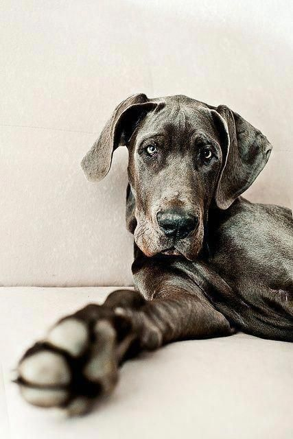 Excellent Great Dane Puppies Detail Is Readily Available On Our