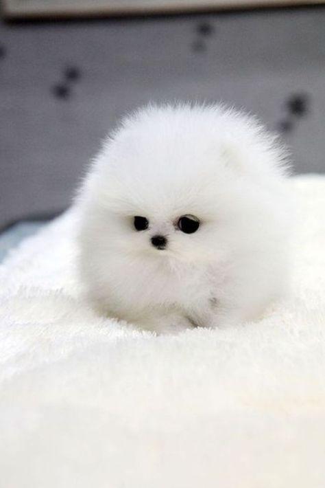 Mini Dog Miniature White Pomeranian Spitz Dog In 2020 Baby