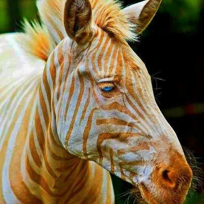Born in Hawaii, Zoe is the only known captive golden zebra in existence... beautiful...