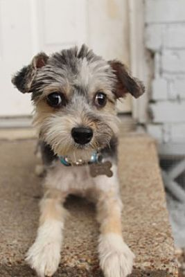 Allentown Pa Bellfort Is A Maltese Min Poodle Yorkie Mix For Adoption Who Needs A Loving Home Poodle Poodle Poodles For Adoption Yorkie Mix
