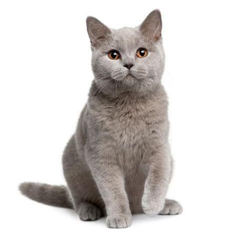 Pin Von Heike Lange Auf Katzen Katzen Rassen Katzenrassen