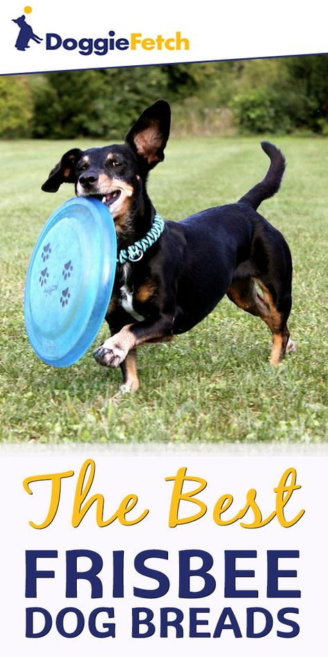 5 Best Frisbee Dog Breeds Of 2018