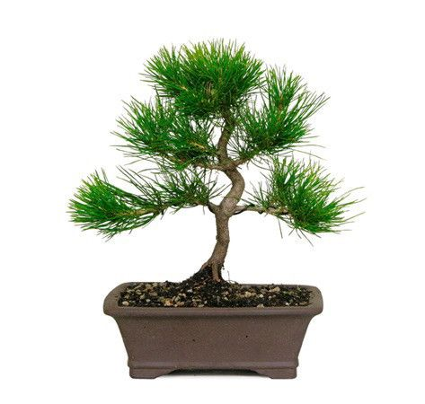 Anese Black Pine Care Sheet From Our
