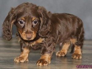 Dogs And Puppies For Sale In Ohio Dapple Dachshund Puppy