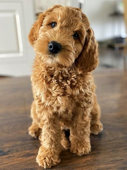 Brickhaven Labradoodles Australian Labradoodle Puppies For Sale