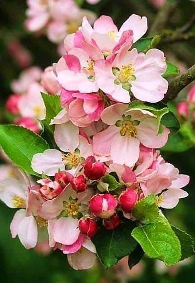 Cherry Blossom Tree With Fruit Https Www Facebook Com Beautifullightscandle Photos A 1391742007742251 224342191590 Pretty Flowers Blossom Trees Apple Blossom