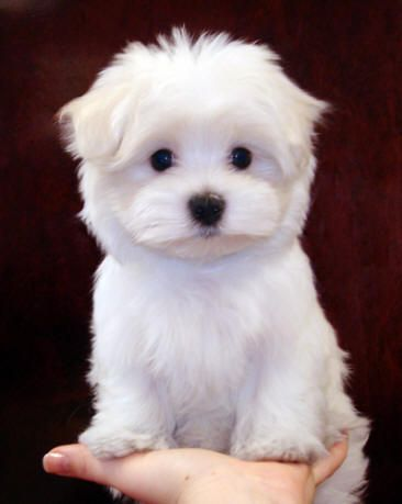 Google Image Result for http://www.pedigreepuppiesforsale.com/puppies/Maltese_puppies.jpg