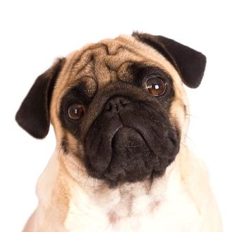 Pin On All About Pugs