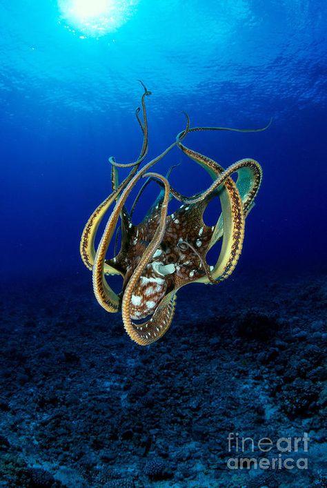 Beautiful shot of an octopus by photographer Dave Fleetham.