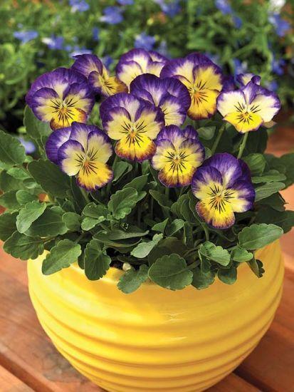 Penny Primrose Picotee Viola Flower Seeds Indoor Flowers Home Garden Plants