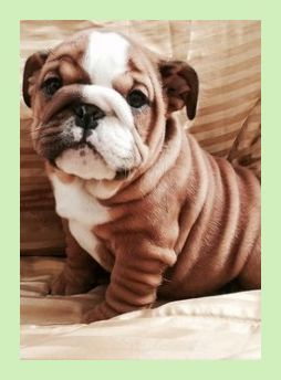 English Bulldog Young Puppies For Sale English Bulldog Canines