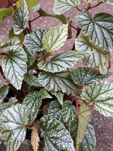 Angelwing Begonia 034 Frosty 034 Well Rooted Starter Plant Starter Plants Plants Begonia