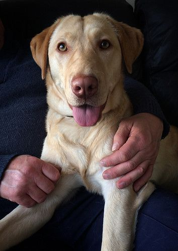 Labrador For Sale Norfolk Take A Look At Labradorgin Labradorpuppiesyorkne Labradormix Labrador Puppies For Sale Labrador Retriever Labrador