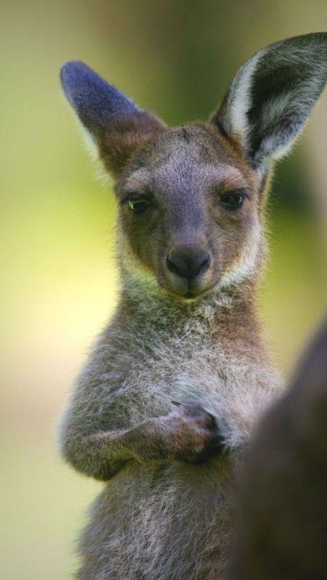 Young Australia Kangaroo - Koala Funny - Funny Koala meme - - Young Australia Kangaroo The post Young Australia Kangaroo appeared first on Gag Dad.