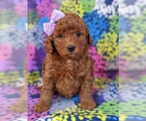 View Ad Goldendoodle Litter Of Puppies For Sale Near Georgia Marietta Usa Adn 62385 In 2020 Puppies For Sale Goldendoodle Goldendoodle Puppy