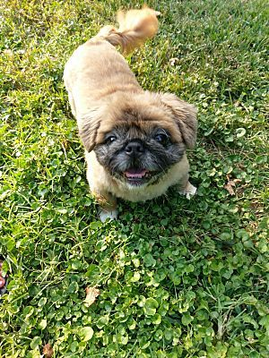 Pictures Of Princess A Pekingese For Adoption In Greensboro Nc Who Needs A Loving Home Pekingese Dog Adoption Pictures Of Princesses