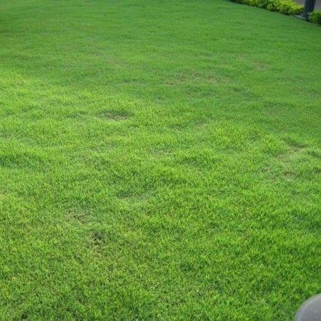 graines zoysia japonica (substitut de gazon) egalement connu sous