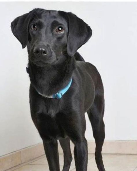 Lost Dog Minneapolis Basenji Labrador Retriever Mix Female