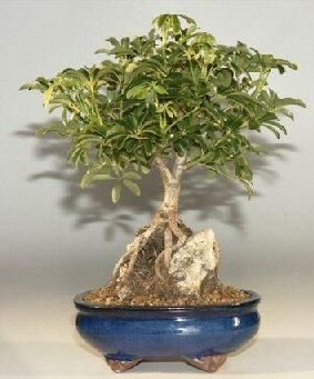 Root Over Rock Style Hawaiian Umbrella Bonsai Bonsai Tree Care Bonsai Tree Indoor Bonsai Tree