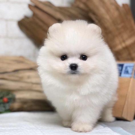 Pomeranian Puppies – Unique Teacup Puppies