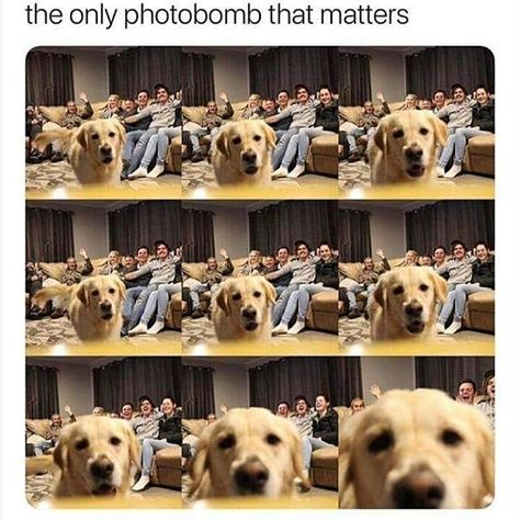 Good boi doin silly stuff Follow me for more! . . . . . . . . #memesdaily #memes...  Good boi doin silly stuff Follow me for more! . . . . . . . . #memesdaily #memes #dankmemes #dankstuff #dankposting #thememenation #funnystuff #funnymemes #funnypics #humour #sarcasm #dankness #fuckmylife #fuckyeah #sacredgames #mirzapur #tseriesvspewdiepie #shitposting #followme #humour #lol #rofl #lmao #viral #trending #doggo #photobomb #goodboi #pupper #goldenretriever