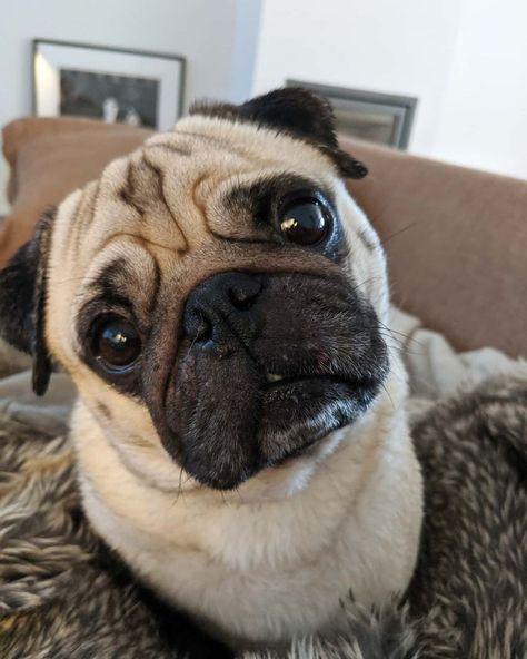 Tuesday project: stare at human #twogirlsandapug #bertjethepug #pugface #pug #dogs #cuteanimals #pugeyes #puglife #puglover #pugheadtilt #dogsofinstagram #pugeyes #mopshond #fawnpugs