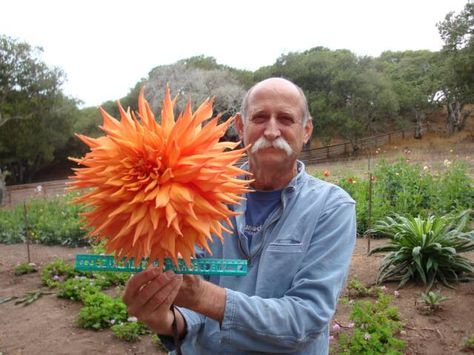 Great Dahlia Growing Info Omg They Re Like The Lorax Trees D Dahlias Garden Growing Dahlias Dahlia Flower