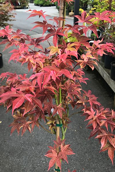 Japanese Maples Acer Palmatum Gable Glory Mary Mary Quite