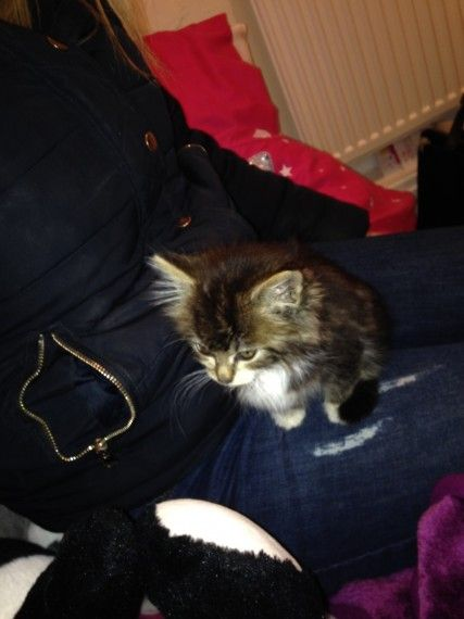 Beautiful Maine Coon Female Kitten For Sale Preston Lancashire Pets4homes Cats Kitten For Sale Maine Coon Kittens