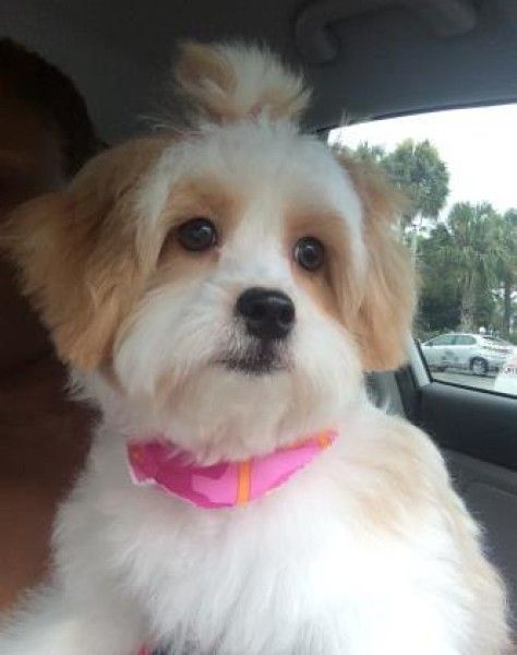Maltese And Shih Tzu Mixed Dog For Adoption In Howell Michigan