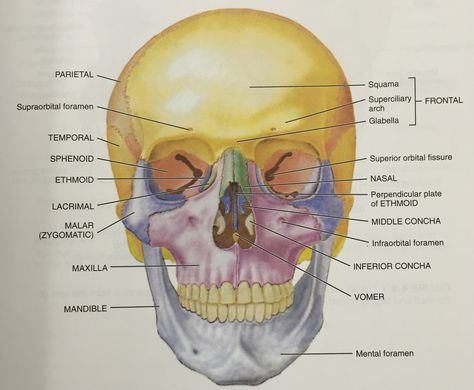 anterior view of the skull | physiotherapy & occupational therapy, Sphenoid