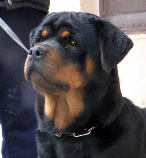 All About The Confident Rottweiler Size Rottweilersofig