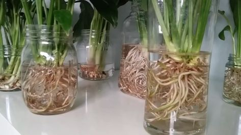 Growing Peace Lily Spathiphyllum In Full Water Culture Youtube Peace Lily Peace Lily Plant Spathiphyllum