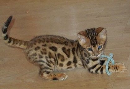 sale kittens st bengals us and exotics for lincoln bengal contact ne bewild banner louis