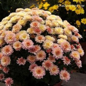 Chrysanthemum X Morifolium Chelsey Coral Garden Mum Bloom Size 1 2 Inches Plants Chrysanthemum Plant Database