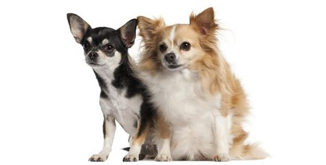 Chihuahua Breed Standards With Images Chihuahua Breeds