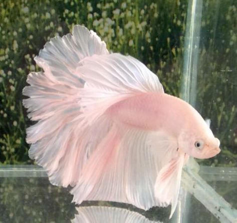 Betta fist are a fun beautiful fish that many people can have in their home with minimal effort. Betta Aquarium, Freshwater Aquarium Fish, Fish Aquariums, Pretty Animals, Cute Little Animals, Animals Beautiful, Betta Fish Types, Betta Fish Tank, Fish Tanks
