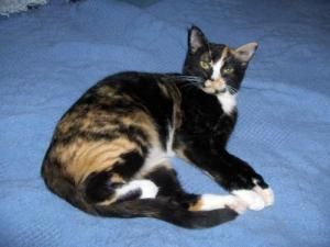 Adopt Lily On Short Hair Cats Cats Kittens