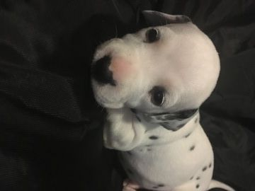 Litter Of 7 Dalmatian Puppies For Sale In Austin Tx Adn 69033 On