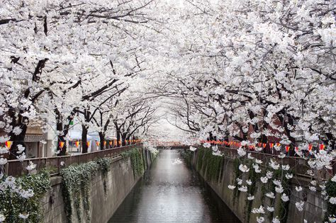CHERRY BLOSSOM TUNNEL OVER MEGURO RIVER IN TOKYO, JAPAN.