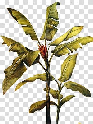 Green Leafed Banana Plant Canvas Print Painting Wall Decal Mural Banana Leaves Transparent Backgr Banana Leaves Watercolor Painted Leaves Leaves Illustration