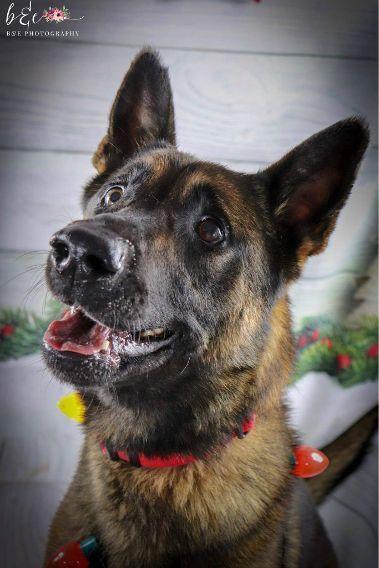 Adopt Maverick On Dogs German Shepherd Dogs Animal Rescue