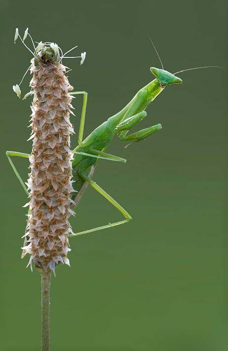 Typically Green Or Brown And Well Camouflaged On The Plants Among Which They Live Mantis Lie In Ambush Or Pati In 2020 Praying Mantis Bugs And Insects Beautiful Bugs