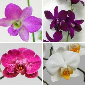 Buy Set Of 4 Amazing Orchid Plants Online At Nurserylive Best Plants At Lowest Price Orchid Plants Orchid Flower Lavender Plant