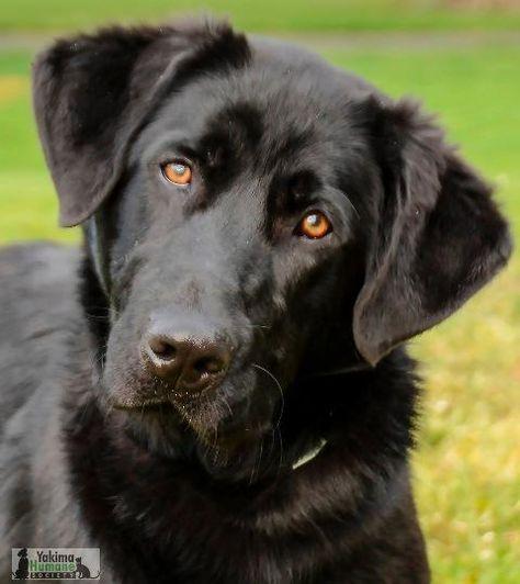 Adopt Shadow On Raining Cats Dogs Labrador Retriever Labrador