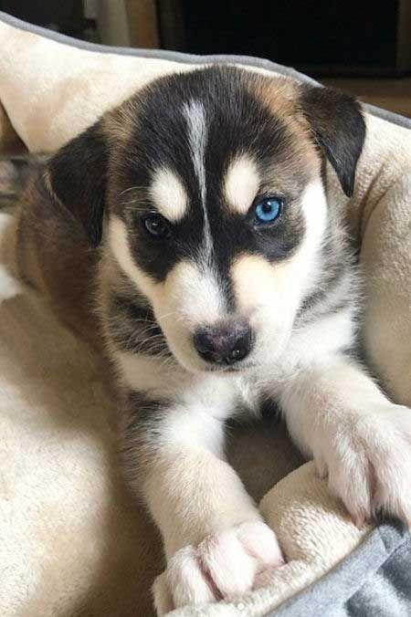Remy Pomsky Puppy For Sale Near Kansas City Missouri Fd02a40b