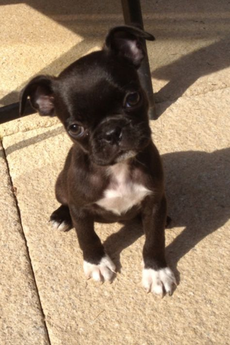Possibly my next dog-Boston Terrier Pug Mix called a Bugg