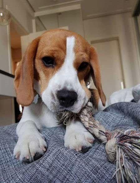 Pin By Virginia A Witman On Beagle Cute Beagles Beagle Puppy